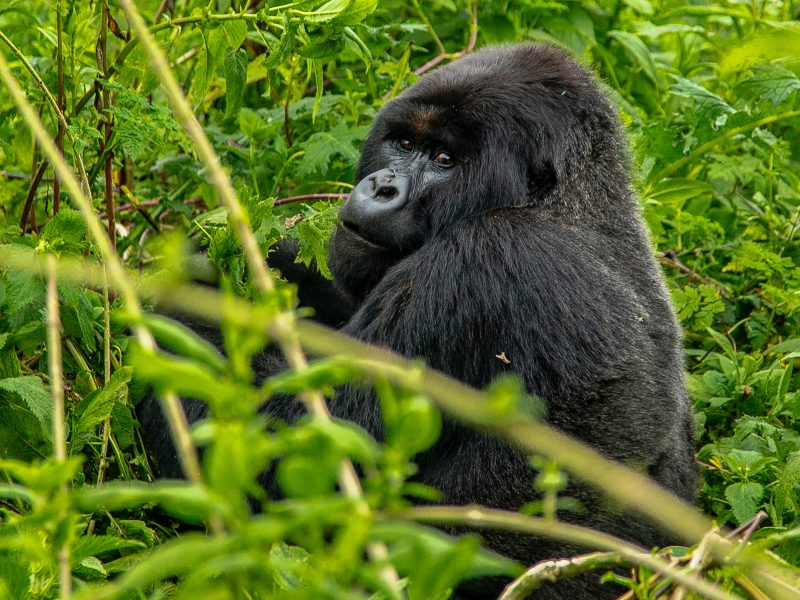 Gorilla - PRIMATE FAMILY TREE